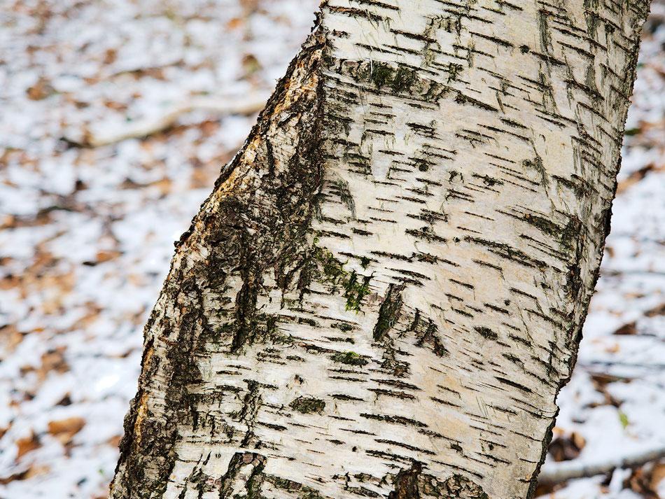Ein Birkenstamm in winterlicher Umgebung
