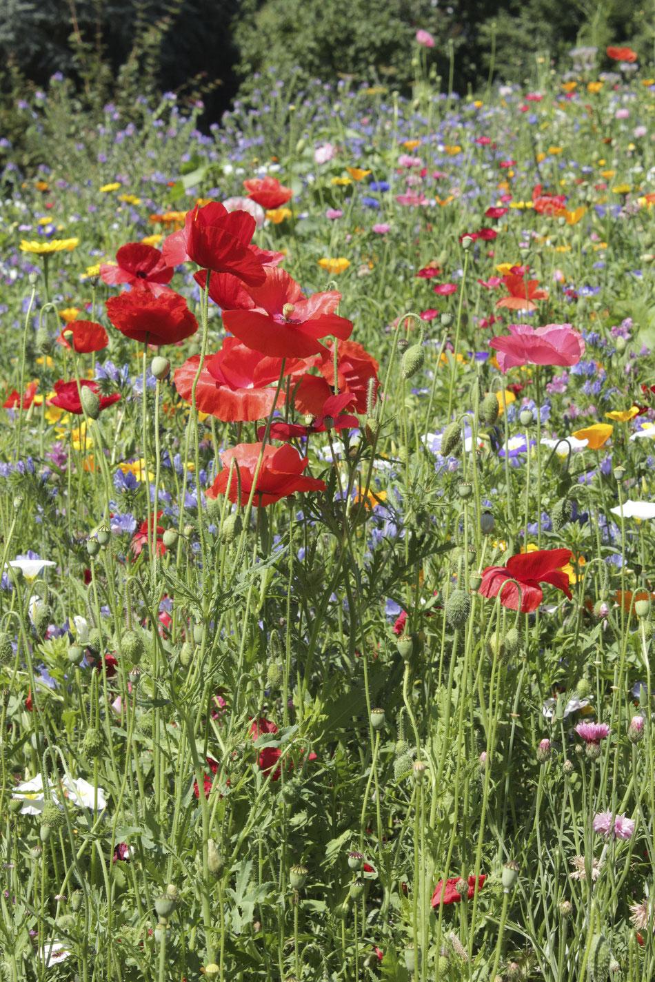 Am Anfang war die Blumenwiese. Foto: Konder