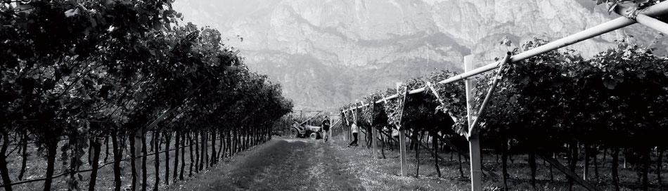 Dubbele pergola's in de Rotaliano vallei, Trentino