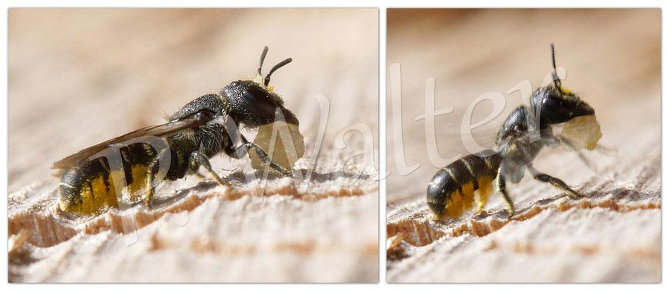 14.09.2014 : Zwischenlandung einer Löcherbiene mit Harzklumpen