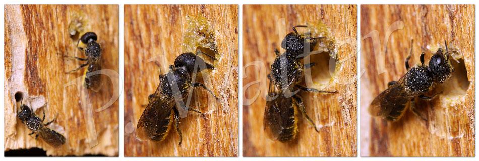 06.09.2014 : eine größere Löcherbiene klaut frech den kompletten Verschluss einer kleineren Verwandten (links unten im Bild) !