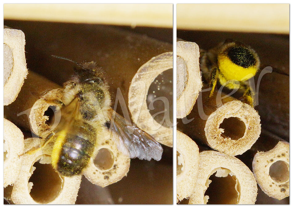 31.05.2015 : Wildbiene, die in den Zwischenräumen nistet, Bauchsammler, daher wahrscheinlich Osmia (oder Megachile)