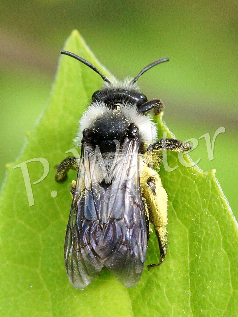 08.05.2015 : Sandbiene Andrena cineraria oder Andrena barbareae beim Sonnenbad auf Bauernjasmin