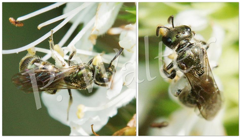 Bild: Furchenbiene am weißen Ysop