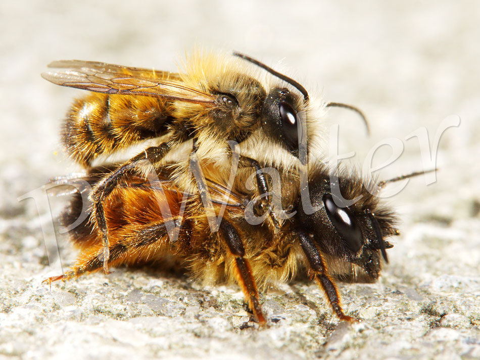 Bild: Rostrote Mauerbiene, Osmia bicornis, Paarung