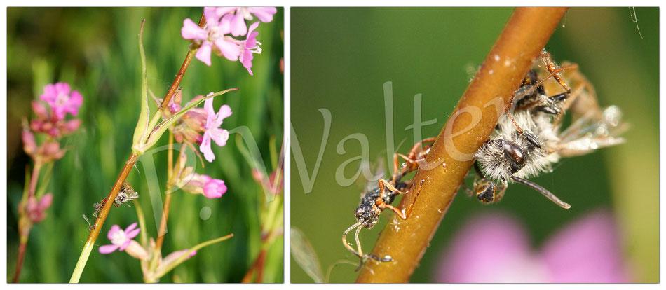 24.05.2015 : Pechnelke, extra für die Wildbienen aus dem Samen gezogen, wird nun aber für unvorsichtige Geschöpfe zum Verhängnis ...