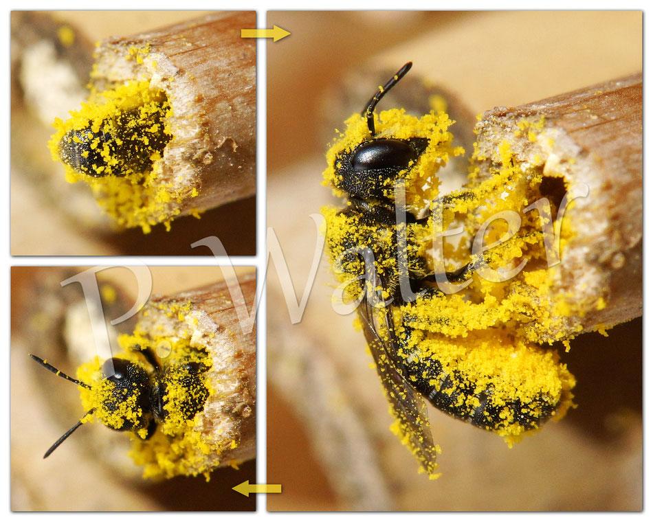 Bild: Pollenmonster !!! wahrscheinlich eine Löcherbiene