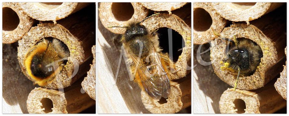 11.04.2015 : Weibchen der Rostroten Mauerbiene - raus, drehen und rückwärts wieder rein ...