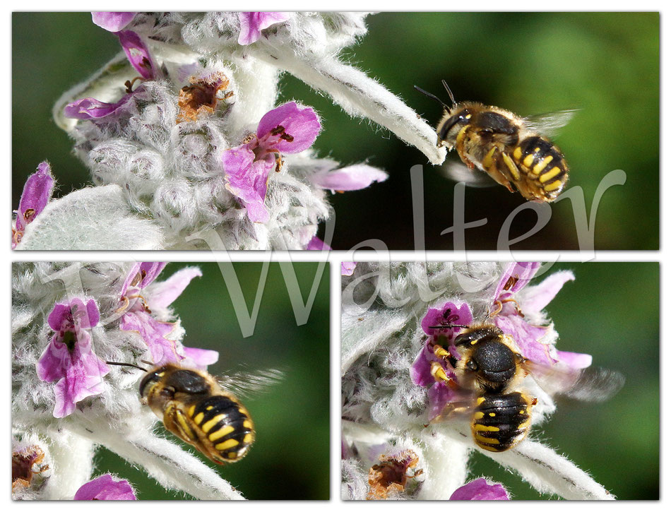 Bild: Garten-Wollbiene, Anthidium manicatum, beim Anflug einer Woll-Ziest-Blüte