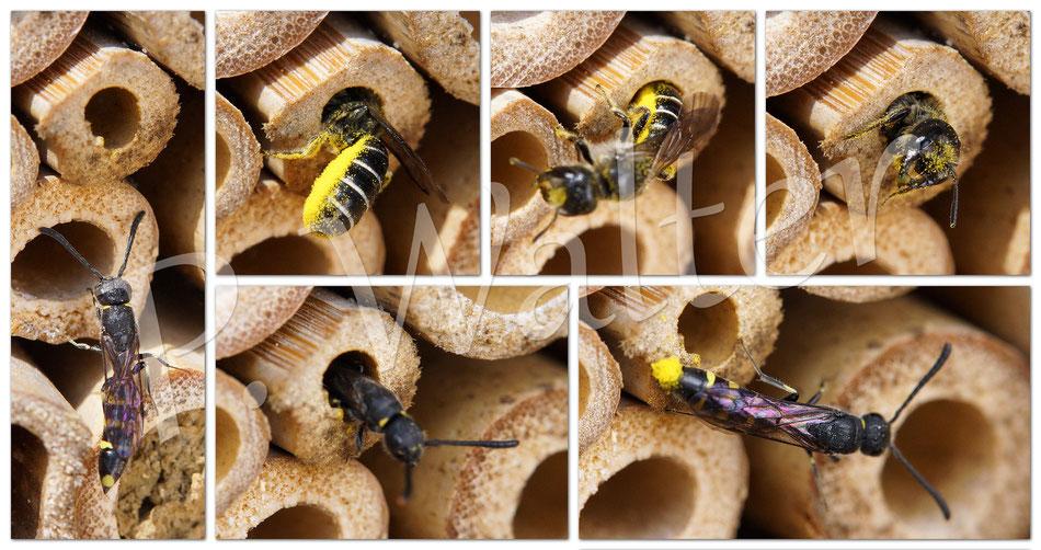 06.06.2015 : Hahnenfuß-Scherenbiene, die von einer Keulhornwespe parasitiert wird