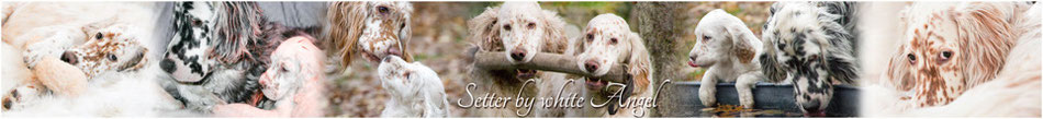 Die English Setter by white Angel