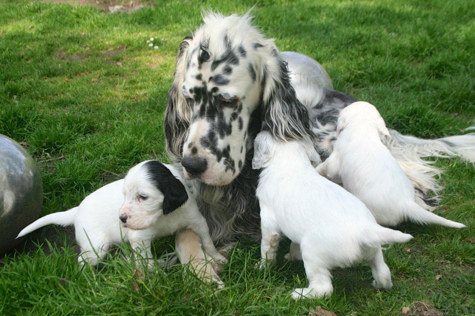 Papa Elmondo by white Angel und seine Puppies aus dem I-Wurf. Er ist mit seinen Welpen ganz fürsorglich, eure Karin.
