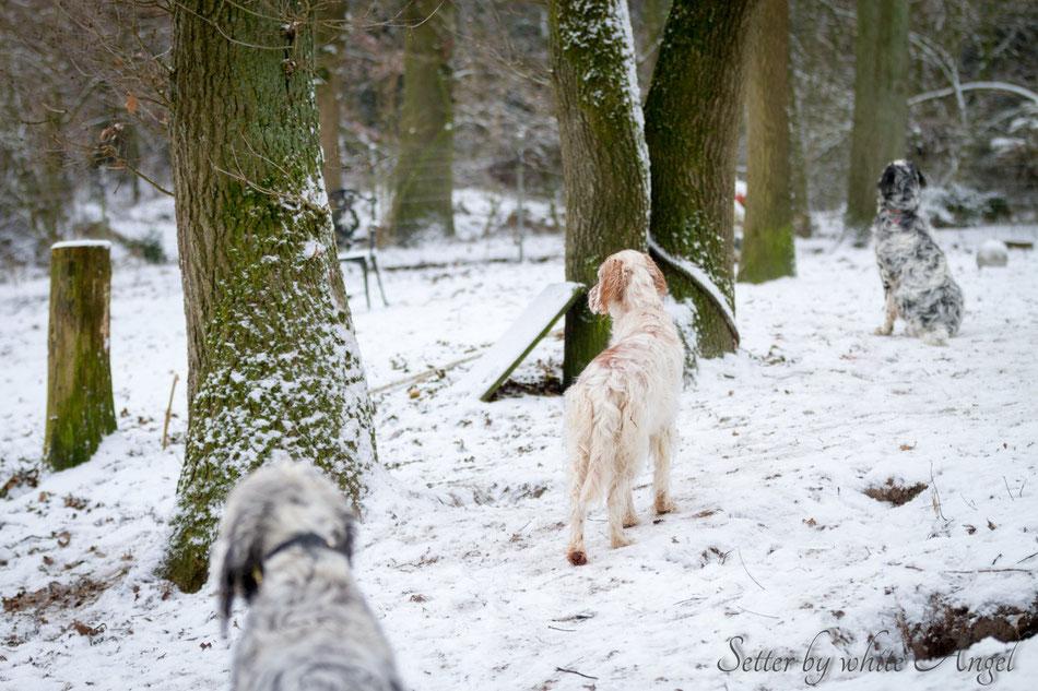 English Setter by white Angel | www.angel-setter.de Setter im Schnee