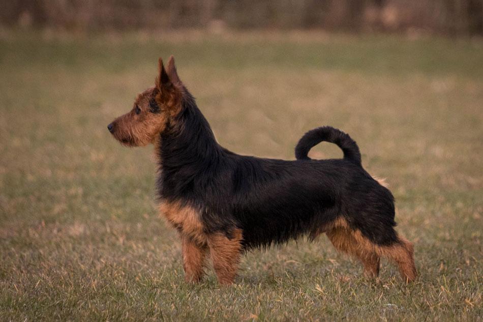 Australian Terrier Deckrüde von den Grauen Anfurten