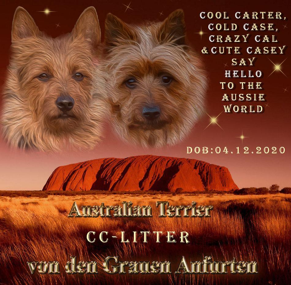 Australian_Terrier_von_den_Grauen_Anfurten