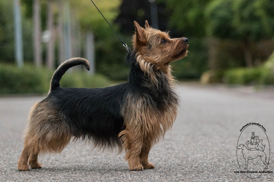 Australian Terrier Deckrüde