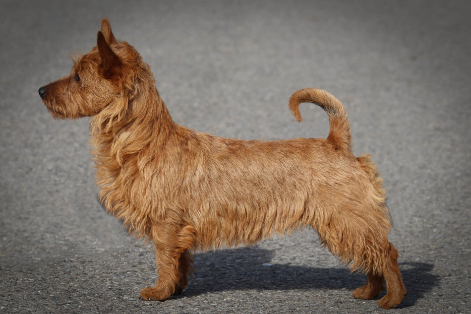 Australian Terrier & Deerhound Zucht/ Welpen www.von-den-grauen-anfurten.nl