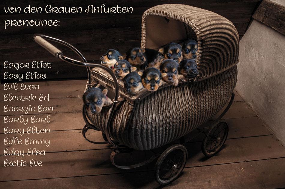 Aussie Welpen im Kinderwagen