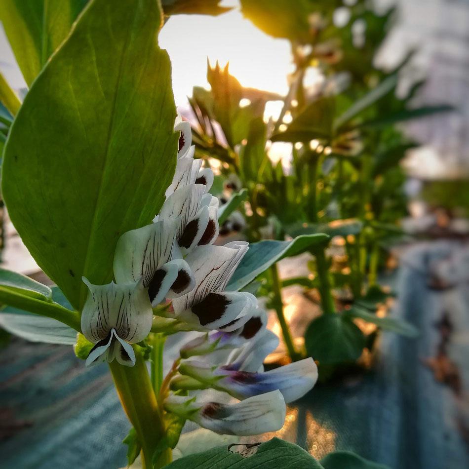 Jolies fleurs de fèves
