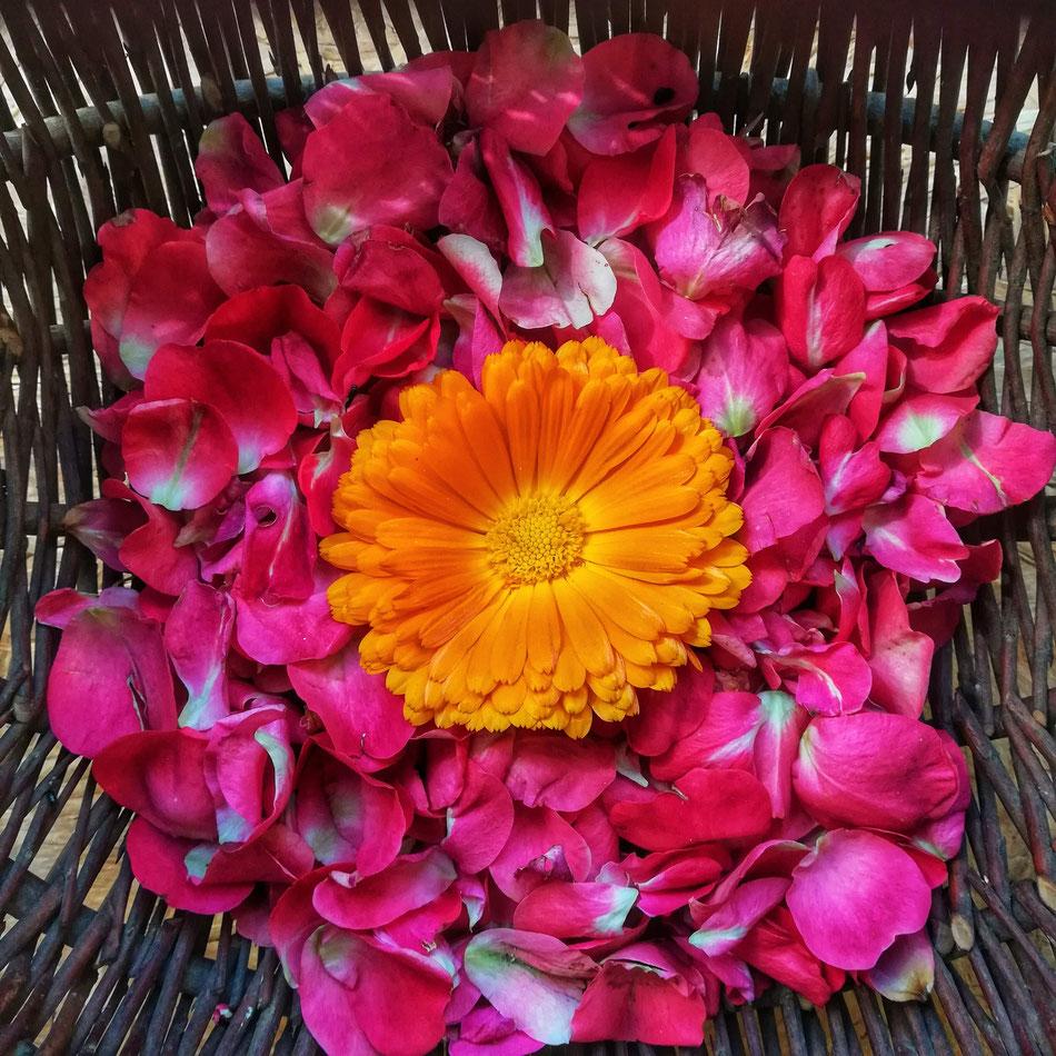Récolte des pétales de fleurs du jardin. Avec la chaleur de la semaine, elles ont vite séchées