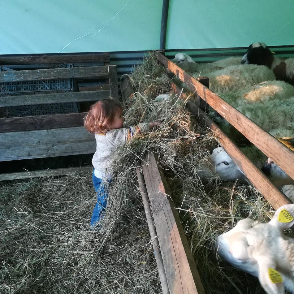 """Ma petite aide-bergère! Helga aime beaucoup donner du foin à ses """"chouchous"""" !"""