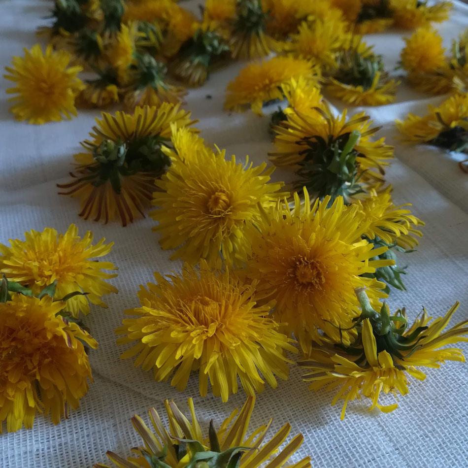 Ramasser les fleurs de pissenlits pour mes savons et baumes