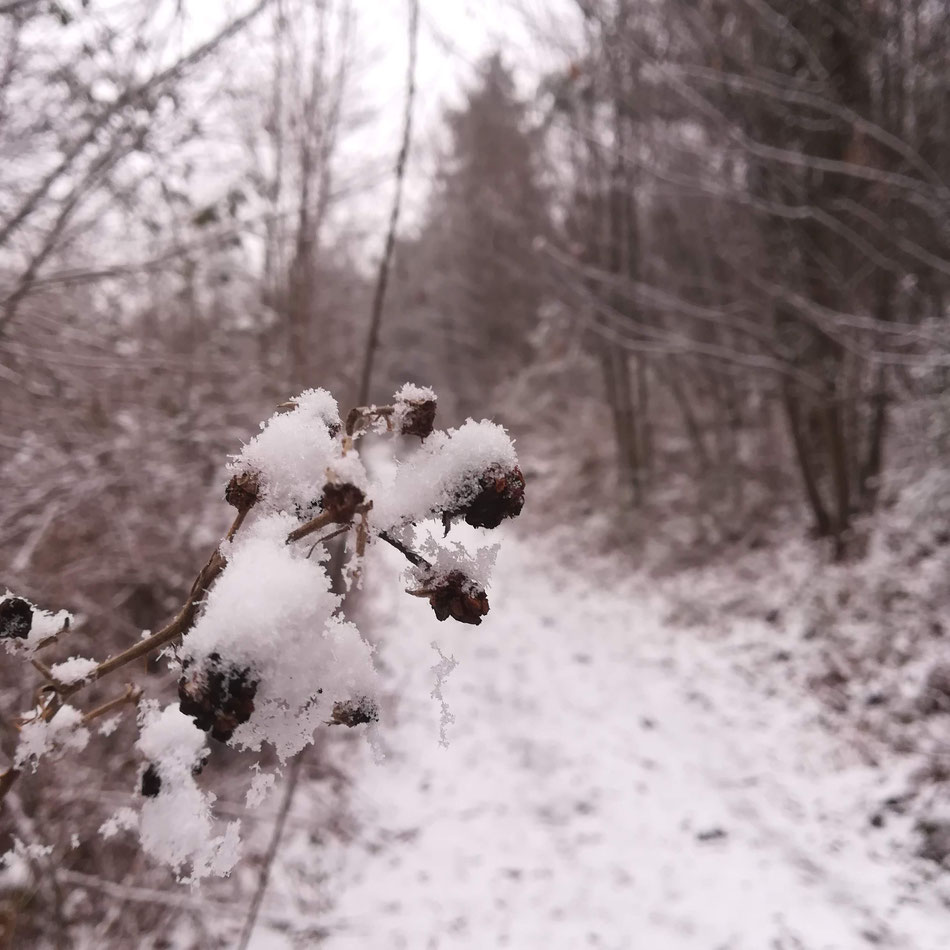 Mûres en manteau blanc