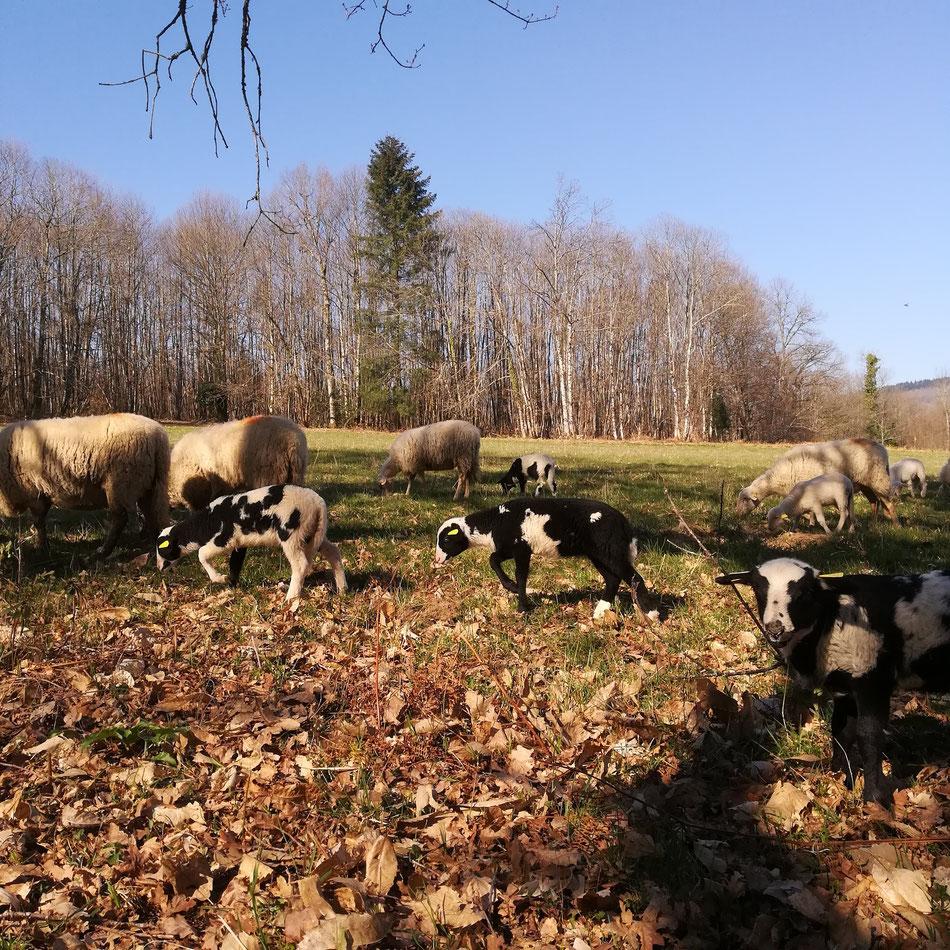L'herbe n'est pas encore grasse mais une petite sortie est toujours bienfaisante. Retour à la bergerie le soir .