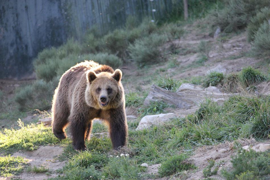 L'ours au croisement du chemin