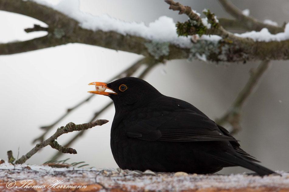Amsel Männchen im Schnee - zu erkennen am schwarzen Gefieder und dem gelben Schnabel und Lidring