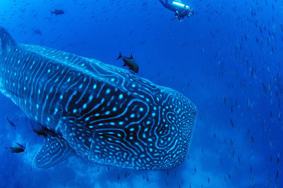 Galapagos Shark Diving - Tiburón ballena en la naturaleza con buceador