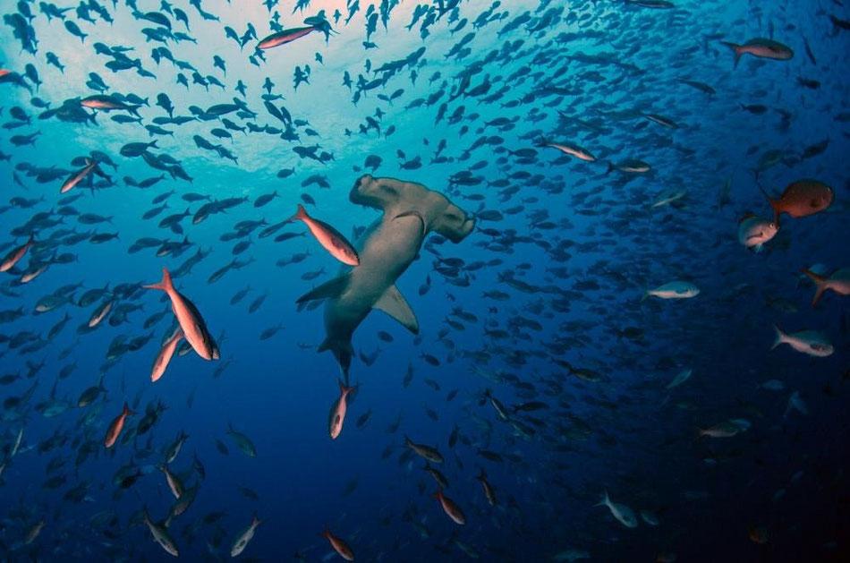 Galapagos Shark Diving - Tiburón martillo en las islas Galápagos