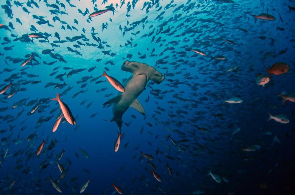 Hammerhead shark surrounded by school of fish, ©Galapagos Shark Diving