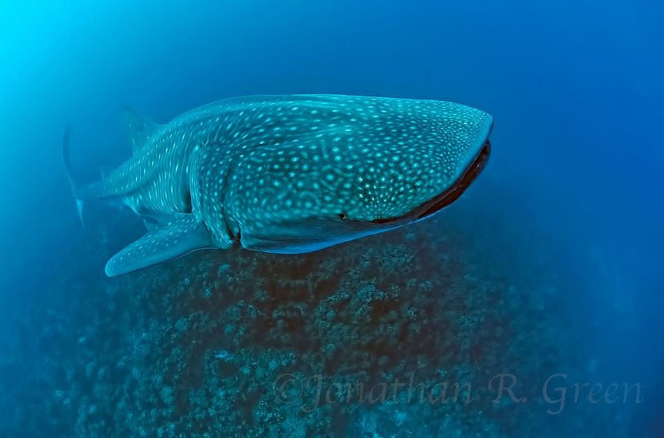 Galapagos Shark Diving - Whale Shark at Galapagos Islands