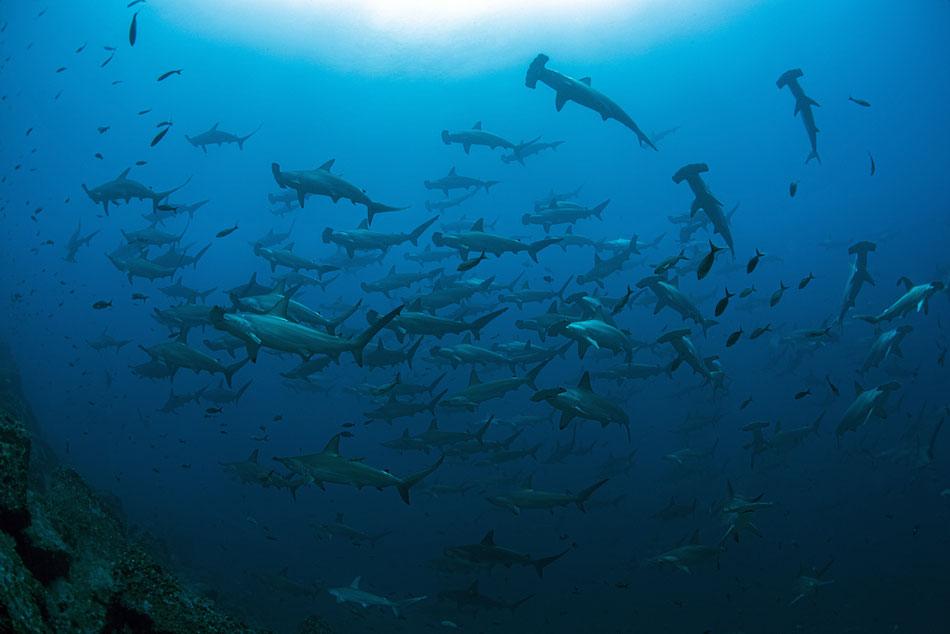 School of hammerhead sharks,©Galapagos Shark Diving