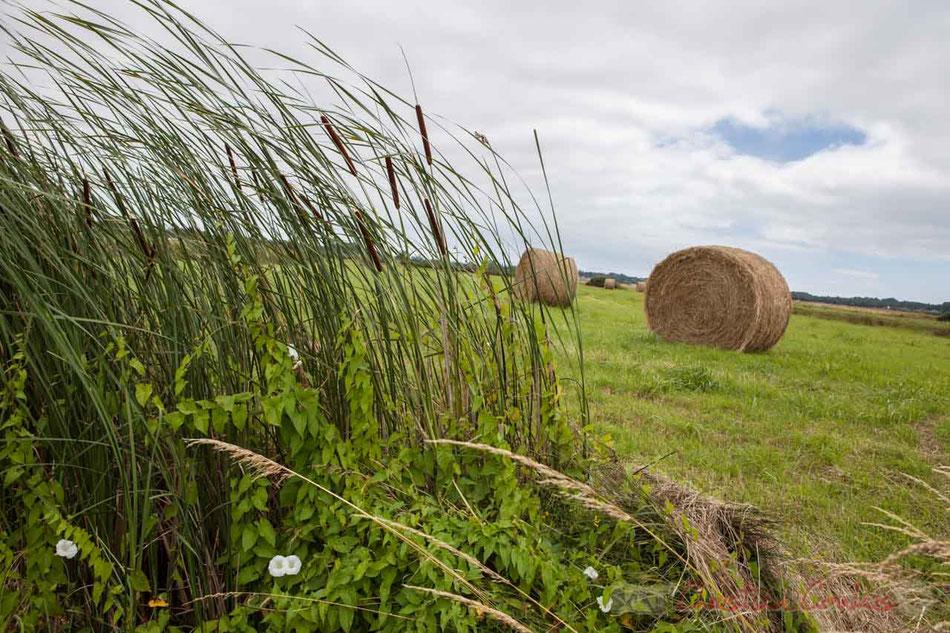 Entre marais doux et marais salés, bottes de paille rondes, roseaux, liseron en fleur. Lieu-dit Le Pissot, Pays de Saint-Gilles-Croix-de-Vie. Vendée, Pays de la Loire
