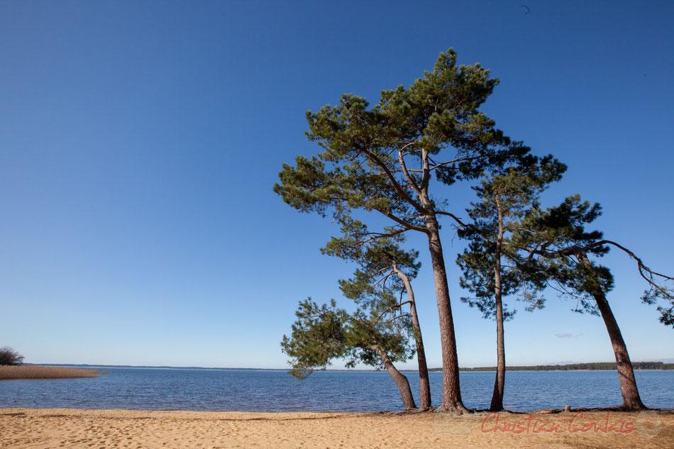 Pinus pinaster ou Pin maritime sous la pinède. Le lac de Sanguinet, Landes