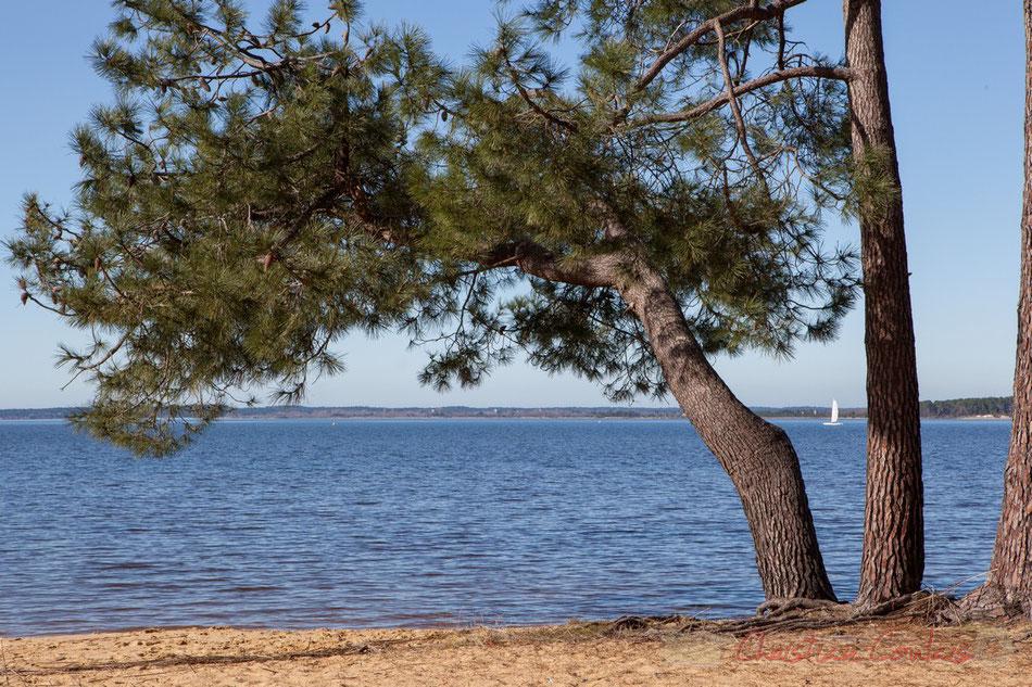 Voile blanche et Pinus pinaster ou Pin maritime sous la pinède. Le lac de Sanguinet, Landes