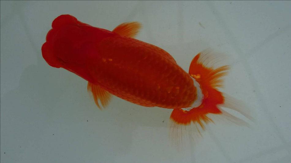 2019年日本らんちゅう協会全国大会当歳魚の部:西前頭9の画像