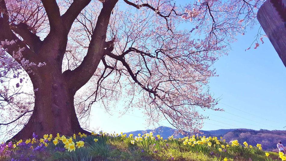 水仙も綺麗に咲いて、桜とのコラボが美しいです。