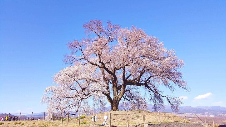 わび塚の1本桜