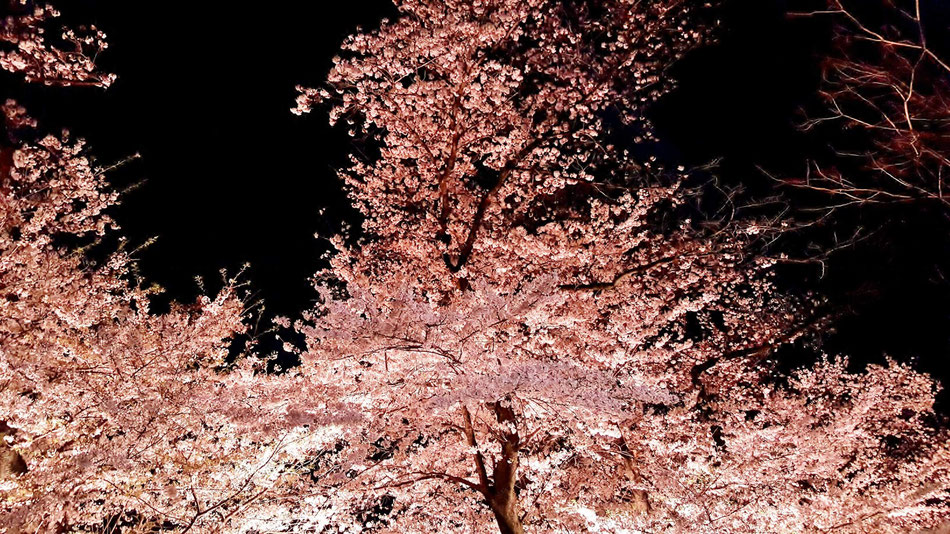 千鳥ヶ淵の夜桜は、本当に楽しい。