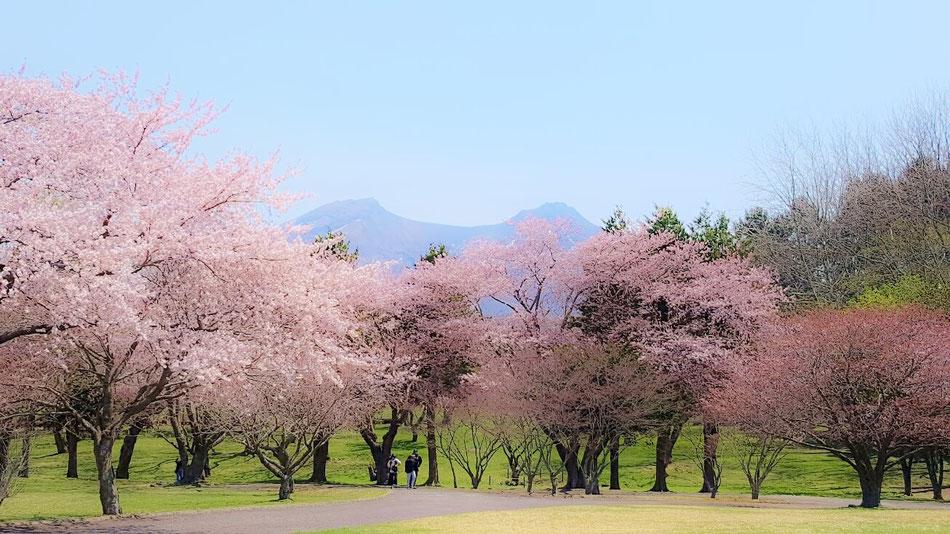 オニウシ公園の桜と駒ケ岳