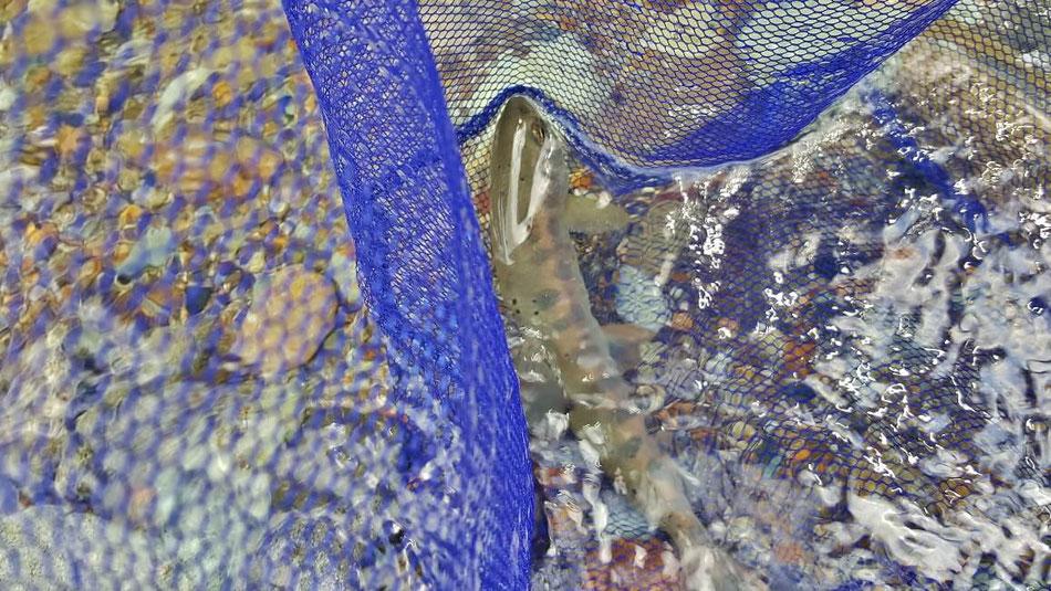 渓流のヤマメ