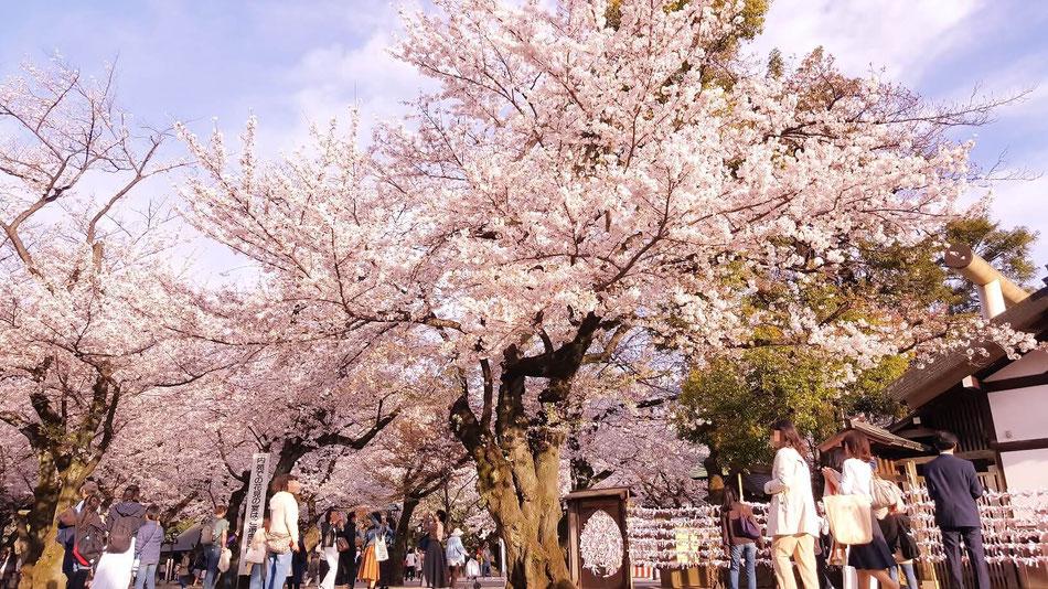 靖国人神社の桜