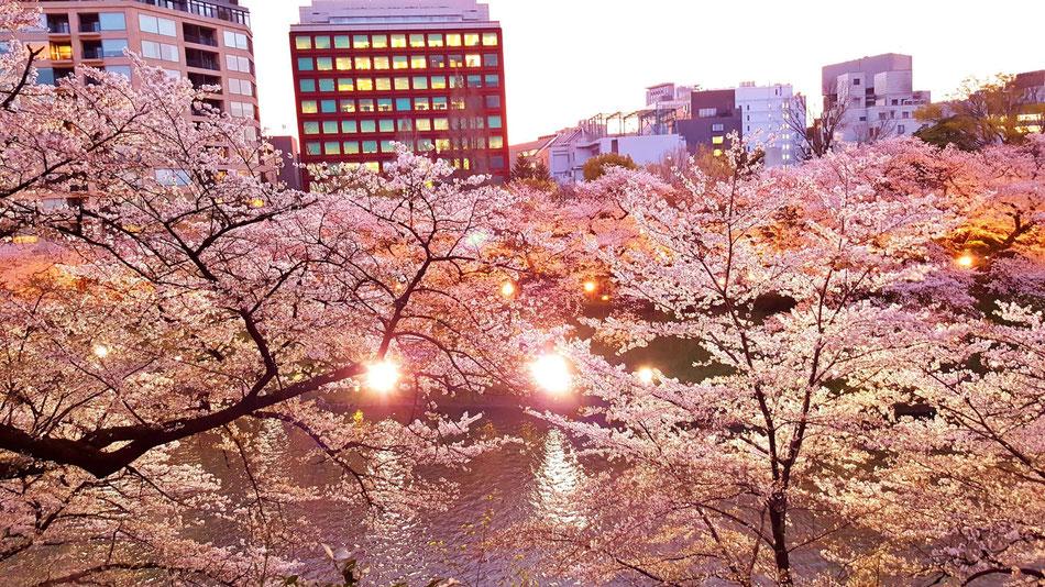 桜・内堀・街・ライトが何とも魅力的。