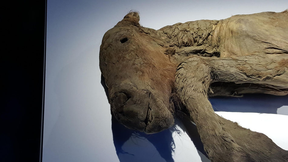 41,000~42,000年前の子馬のミイラ。