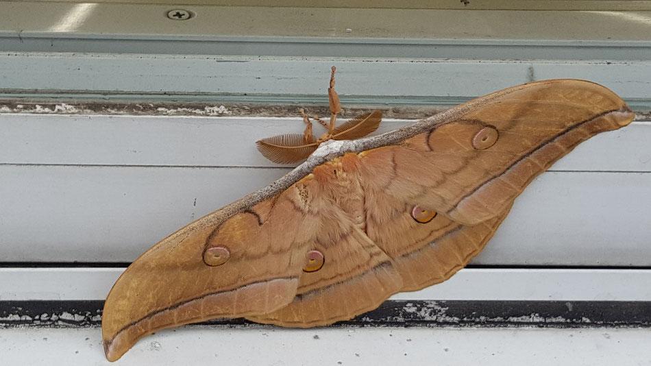 ヤママユ蛾。広げた羽は15cmと圧倒的。