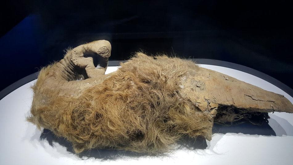32,700年前のマンモスの鼻。