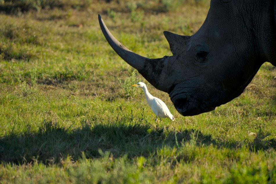 Ein Nashorn mit seinem hungrigen Begleiter